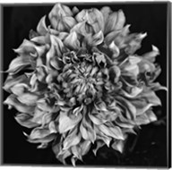 Dalia 2 Phaseone Stack Bw Fine-Art Print