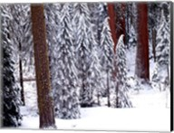 Pines in Winter, California 95 Fine-Art Print