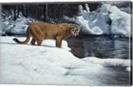 Waters Edge - Cougar Fine-Art Print