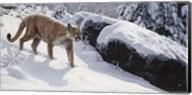 Soft Snow- Cougar Fine-Art Print