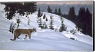 Cougar In Snow Fine-Art Print