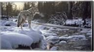 Winter Creek - Coyote Fine-Art Print