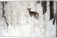 Deep Snow- Whitetail Fine-Art Print