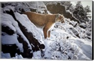 Winter Lookout- Cougar Fine-Art Print