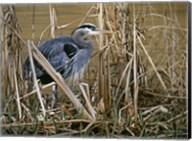 Early Spring - Great Blue Heron Fine-Art Print