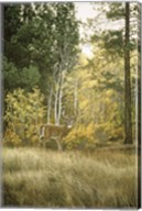 Autumn Aspen - White Tailed Deer Fine-Art Print