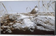 White Crowned Sparrow Fine-Art Print