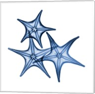 Blue Three Starfish Fine-Art Print
