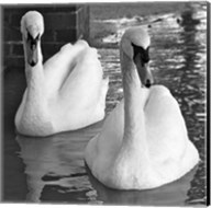 Swans In Love BW Fine-Art Print
