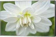 White Dahlia Fine-Art Print