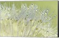 Dandelion Dew I Fine-Art Print