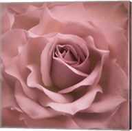 Misty Rose Pink Rose Fine-Art Print