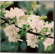 Apple Blossoms I Fine-Art Print