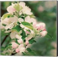 Apple Blossoms II Fine-Art Print