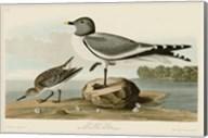 Fork-Tailed Gull Fine-Art Print