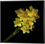 Daffodils - Narcissus Fine-Art Print