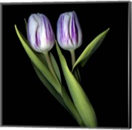 Purple And White Tulips Fine-Art Print
