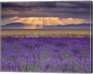 Sunbeams over Lavender Fine-Art Print