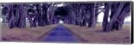 Monterey Cypress Trees, Point Reyes, California Fine-Art Print