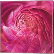 Ranunculus Abstract II Color Fine-Art Print