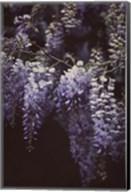 Wisteria Cascade II Fine-Art Print