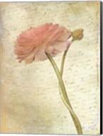 Ranunculus Bloom 2 Fine-Art Print