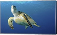 Hawksbill sea turtle ascending, Nassau, The Bahamas Fine-Art Print
