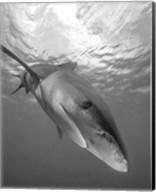 Oceanic Whitetip Shark, Cat Island, Bahamas Fine-Art Print