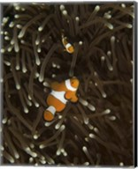 Pair of Anemonefish, Manado, Indonesia Fine-Art Print