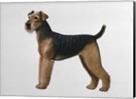 Airdale Terrier Fine-Art Print