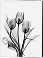 Three Gray Tulips H14 Fine-Art Print