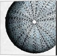 Urchin Shell 2 Fine-Art Print