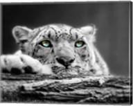 Pop of Color Snow Leopard Eyes Fine-Art Print