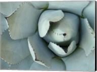 Agave Detail II Fine-Art Print