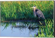 Great Blue Heron in Taylor Slough, Everglades, Florida Fine-Art Print