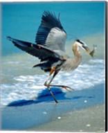 Florida Captiva Island Great Blue Heron bird Fine-Art Print