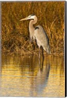 Great Blue Heron standing in Salt Marsh Fine-Art Print