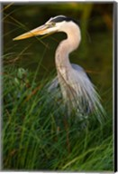 Great Blue Heron, stalking prey in wetland, Texas Fine-Art Print