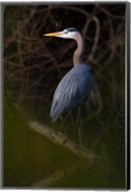 Great Blue Heron roosting, willow trees, Texas Fine-Art Print