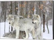 Grey wolves huddle together during a snowstorm, Quebec Fine-Art Print