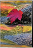 Red Maple leaf on rock in Swift River, White Mountain National Forest, New Hampshire Fine-Art Print
