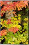 Autumn color, White Mountain Forest, New Hampshire Fine-Art Print