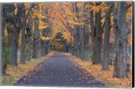 Sugar Maples in a Rye Cemetary, New Hampshire Fine-Art Print