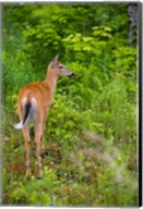 Whitetail deer, Pittsburg, New Hampshire Fine-Art Print