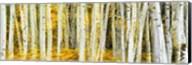 Double Xxposure Aspen Grove, Grand Teton National Park, Wyoming Fine-Art Print