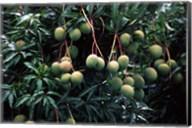 Mangoes, Fiji Fine-Art Print