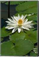 Fiji, Water lily flower Fine-Art Print