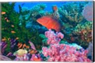 Fairy Basslet fish and Coral, Viti Levu, Fiji Fine-Art Print