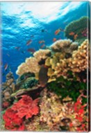 Fairy Basslet fish Swimming, Viti Levu, Fiji Fine-Art Print