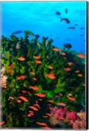 Fairy Basslet fish in Clear Blue Waters, Viti Levu, Fiji Fine-Art Print